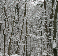 Snow falls through leafless trees