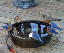 All kinds of birds visit the water bowl