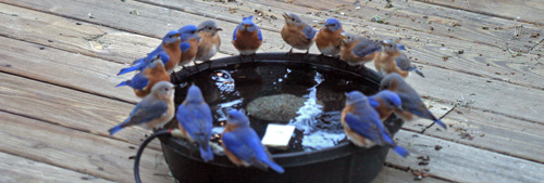 Bluebirds flock to the water