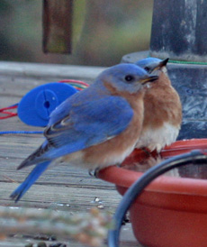 Bluebirds perch on a smaller water dish that we used to use.