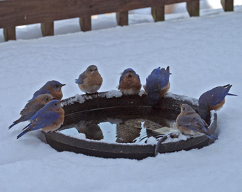 Fresh water brings in the bluebirds on a snowy day
