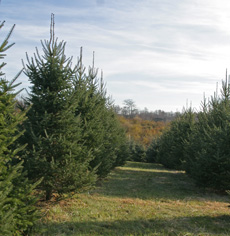 Rows of Canaan fir grow at Fragrant Firs in Fishersville, VA