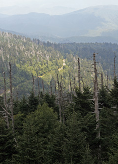Red spruce and young Fraser firs grow among the dead Fraser firs near Clingman's Dome.