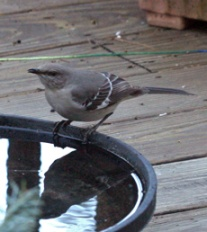 Mockingbirds come for water