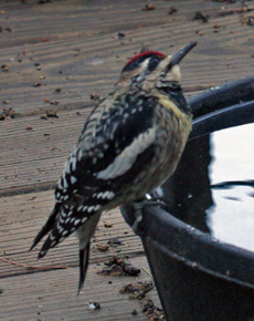 Sapsucker visits the water