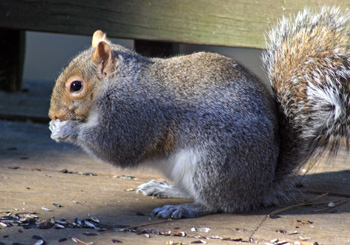 Gray squirrels scavenge for seeds on the deck