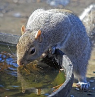 Gray squirrel drinks