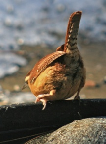 Bottoms up Carolina wren!