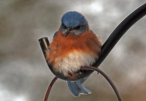 One more fluffy bluebird