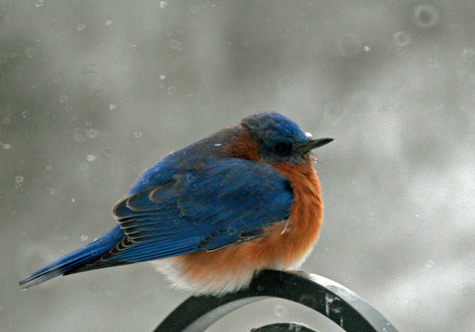 A beautiful male bluebird fluffs up against the cold