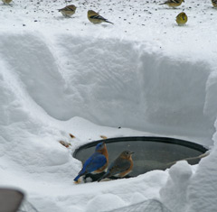 Bluebirds at the water while finches feed on the snow above!