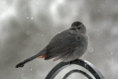 A catbird waits for a turn at the water bowl