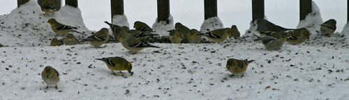 Goldfinches in their winter plumage feed on dropped seed
