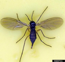 Fungus gnat adult. David Cappaert, Michigan State University, Bugwood.org
