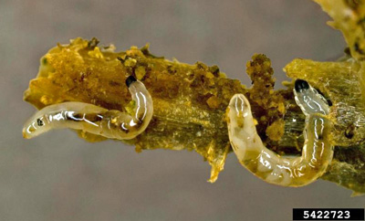 Fungus gnat larvae feeding on the roots of a greenhouse plant. David Cappaert, Michigan State University, Bugwood.org