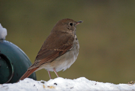 Like the bluebirds, this hermit thrush comes mainly for the water