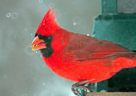 A bright red male cardinal perches on one of the feeders