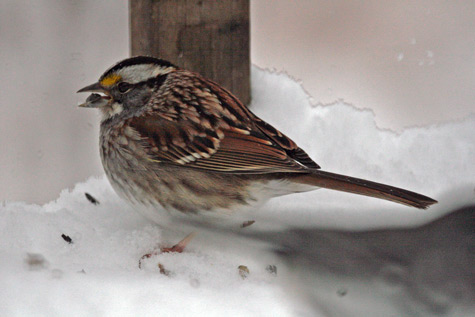 A white-throated sparrow scavenges for dropped seed