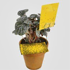 Yellow sticky cards are used to trap fungus gnats