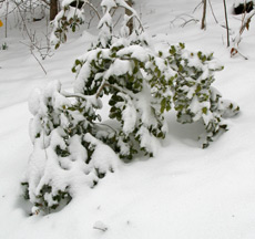 Small American holly bent under the weight of snow