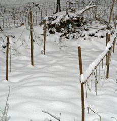 Asparagus bed covered with a blanket of snow.