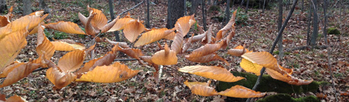 beech leaves in winter