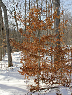 American beech retains leaves through most of winter.