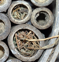 Grass plugs made by a grass-carrying wasp