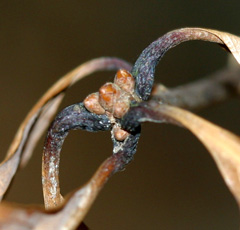 Leaves may provide protection for the new buds.