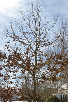 Mature oaks usually retain leaves only on their lower branches.