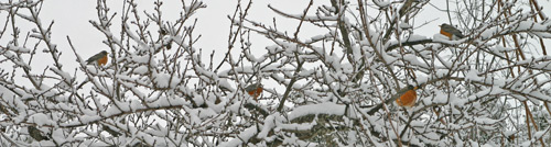 Robins in a peach tree trying to figure out where spring went