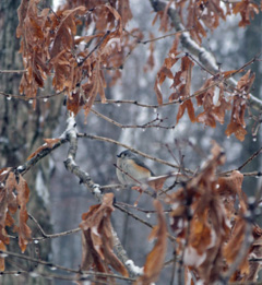 A tufted titmouse enjoys a sunflower seed in the shelter of oak leaves