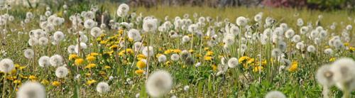 Dandelions fill a field