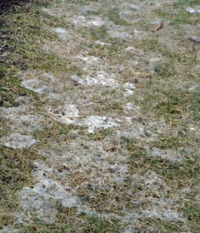 Gray snow mold