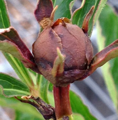 This peony bud would have produced a beautiful flower!