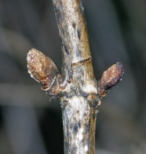 Dead stems should be cut back to live wood with healthy buds.