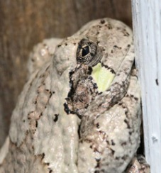 Gray treefrogs have a distinctive light patch below their eye.