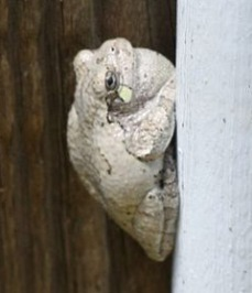 Male gray treefrog with throat pouch expanded.