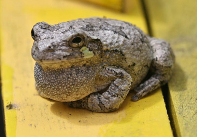 Gray treefrog calling. They usually call at night to attract females