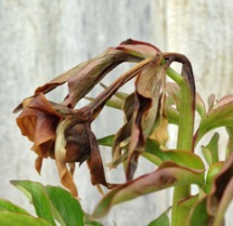 A peony bud and stem infected with botrytis