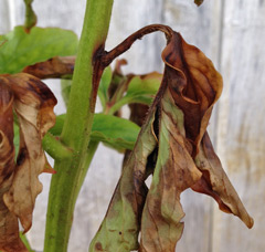 Botrytis at the base of this peony leaf
