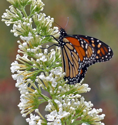 A monarch butterfly visits Buddleia 'White Profusion'