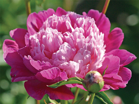 Peony 'Gay Paree' blooms in the Viette gardens. It is one of Andre's favorites.
