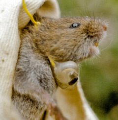 Meadow vole being fitted with a radio collar