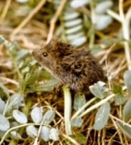 A young meadow vole sits in crownvetch.