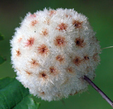 Wool sower galls are quite beautiful!