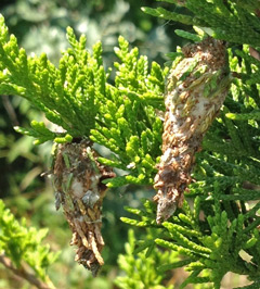 Two bagworm cases hang from a red cedar as their occupants feed on the needles