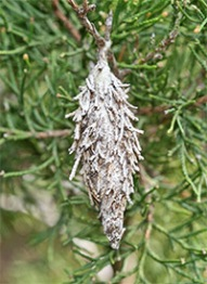 A bagworm case from a previous year hangs on a cedar tree