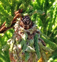A bagworm caterpillar sticks its head out of the bag as it feeds on cedar needles