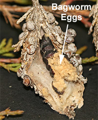 The body of a female bagworm cut open to reveal hundreds of eggs